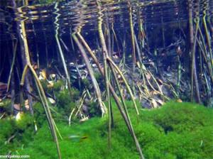 Palembang Kugelfisch