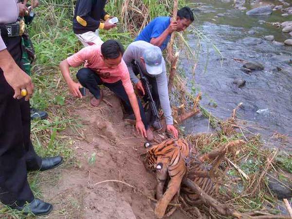 persediaan-obat-bius-tidak-ada-seekor-harimau-pun-ditembak-mati-di-sumsel-httpt-co3hctwyak4m-aboutpalembang-httpt-cotrxizze8zx