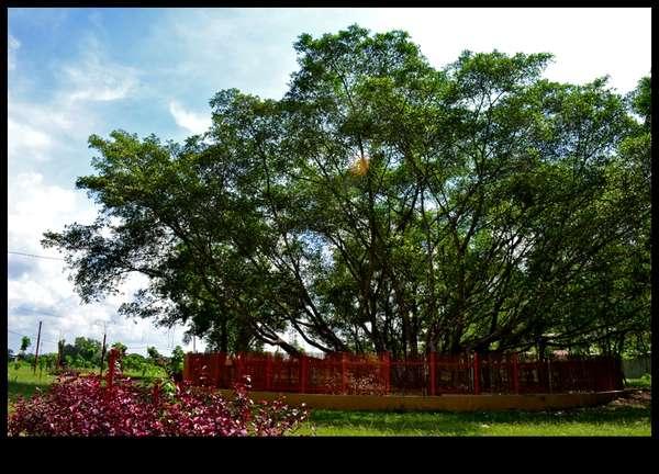 pohon-cinta